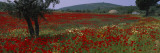 Red Poppies in a Field  Turkey