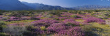 Flowers on a Landscape  Anza Borrego Desert State Park  California  USA