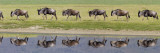 Herd of Wildebeests along a River  Ngorongoro Crater  Tanzania