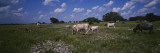 Cattle Grazing in the Field  Texas Longhorn Cattle  YO Ranch  Texas  USA