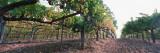 Crops in a Vineyard  Sonoma County  California  USA