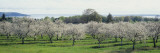 Cherry Trees in an Orchard  Mission Peninsula  Traverse City  Michigan  USA