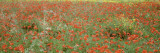 Poppies Growing in a Field  Sicily  Italy