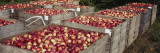 Heap of Apples in Wooden Crates  Grand Rapids  Kent County  Michigan  USA