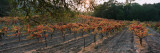 Vineyard on a Landscape  Sonoma County  California  USA