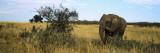 African Elephant Standing in Masai Mara National Reserve  Kenya