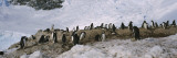 Gentoo Penguins on a Landscape  Neko Harbor