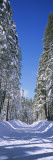 Trees on Both Sides of a Snow Covered Road  Crane Flat  Yosemite National Park  California  USA