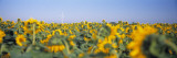 Wind Turbine in a Field of Sunflowers  Baden-Wurttemberg  Germany