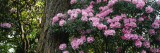 Rhododendron Flowers on a Plant  Oregon  USA