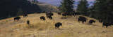 Bisons Grazing  National Bison Range  Moiese  Montana  USA