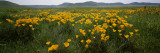 Poppies in a Field  Carrizo Plain  San Luis Obispo County  California  USA