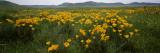 Poppies in a Field  Carrizo Plain  San Luis Obispo County  California  USA
