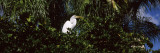 Egret Perching on a Branch  Florida  USA