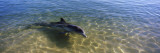 Bottle-Nosed Dolphin in Sea  Monkey Mia  Shark Bay Marine Park  Perth  Western Australia  Australia