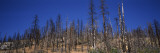 Burnt Trees in a National Park  Yosemite National Park  California  USA