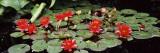 Water Lilies in a Pond  Sunken Garden  Olbrich Botanical Gardens  Madison  Wisconsin  USA
