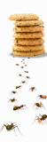Ants Marching Towards and Away from a Stack of Cookies