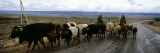 Cattle Being Herded on a Road  Kyrgyzstan