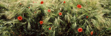 Red Poppies in a Barley Field  Baden-Wurttemberg  Germany