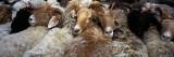 Goats in a Market  Kashgar  Xinjiang Province  China