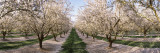 Almond Trees in an Orchard  Central Valley  California  USA