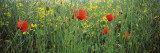 Poppies Blooming in Oilseed Rape Field  Baden-Wurttemberg  Germany