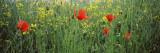 Poppies Blooming in Oilseed Rape Field  Baden-Wurttemberg  Germany