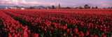Tulips in a Field  Skagit Valley  Washington State  USA