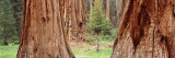 Sapling Among Full Grown Sequoias  Sequoia National Park  California  USA