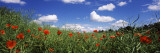 Red Poppies Blooming in a Field  Baden-Wurttemberg  Germany