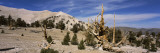 Bristlecone Pine Trees on Arid Landscape  White Mountains  Mono County  California  USA