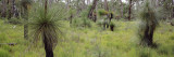 Grasstrees in a Forest  Western Australia  Australia