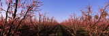 Peach Trees in an Orchard  Central Valley  California  USA