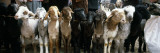 Sheep in a Market  Kashgar  Xinjiang Province  China