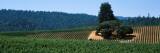 Grape Vines in a Field  Anderson Valley  Mendocino County  California  USA