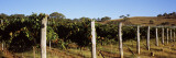 Grape Vines in a Vineyard  Mount Majura Vineyard  Canberra  Australia