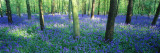 Bluebells in a Forest  Charfield  Gloucestershire  England