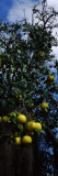 Ripe Grapefruits on the Tree  Nokomis  Sarasota County  Florida  USA