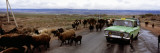 Taxi and Cattle on a Road  Kyrgyzstan