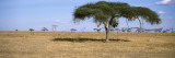 Acacia Trees with Weaver Bird Nests  Antelope and Zebras  Serengeti National Park  Tanzania