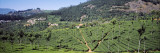 Tea Plantation  Coonoor  Nilgiris  Kerala  India