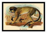 The Talapoin