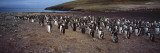 Colony of Gentoo Penguins at the Neck  Saunders Island  Falkland Islands