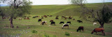 Cattle Grazing in a Field  Uzbekistan