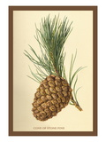 Cone of a Stone Pine