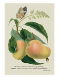 The Mazagon Mango and the Papilio Bolina