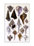 Shells: Trachelipoda