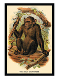 The Bald Chimpanzee