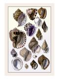 Shells: Purpurifera